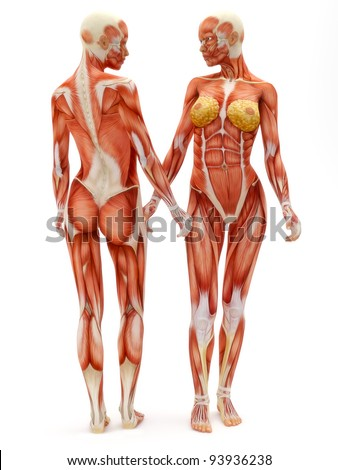 Female musculoskeletal system front and back isolated on a white background .Part of a muscle medical series. - stock photo
