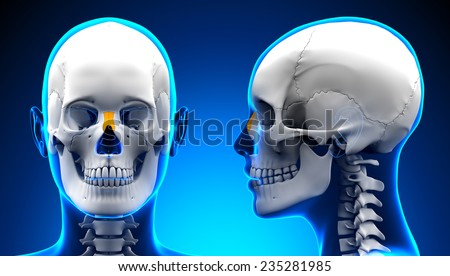 Female Nasal Bone Skull Anatomy - blue concept - stock photo