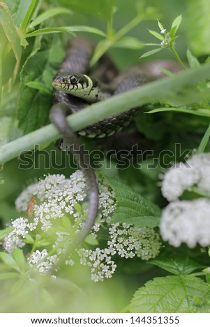 female Natrix Natrix in its natural habitat - stock photo
