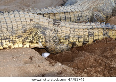 Female Nile Crocodile laying eggs - stock photo