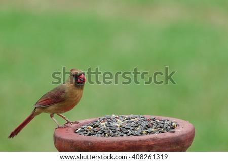 Female Northern Cardinal - stock photo