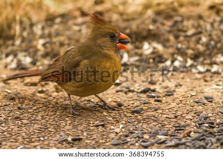 Female Northern Cardinal (Cardinalis cardinalis) cracking black oil sunflower seed in her beak;  Selective focus and shallow dof: - stock photo