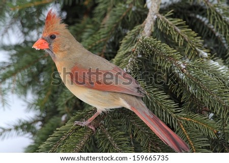 Female Northern Cardinal (cardinalis cardinalis) on a Spruce branch covered with snow - stock photo