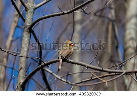 Female northern cardinal is a North American bird in the genus Cardinals; it is also known colloquially as the  common cardinal During courtship, the male feeds seed to the female beak-to-beak - stock photo