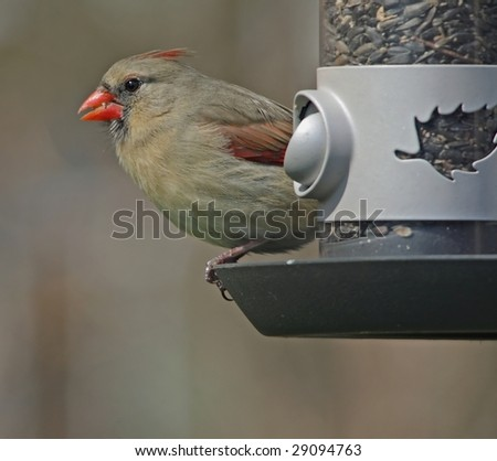Female Northern Cardinal on feeder