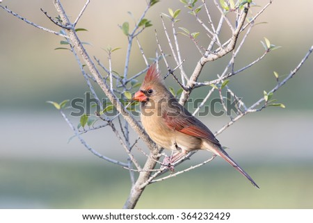 Female Northern Cardinal Perched in Small Tree - stock photo