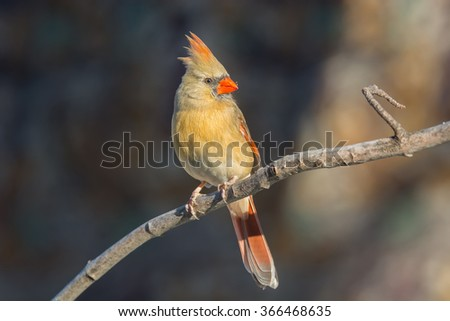 Female northern cardinal perched on a tree branch. - stock photo