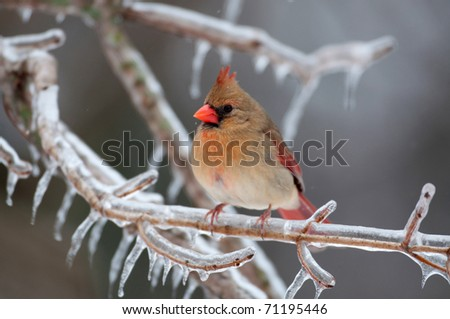 Female northern cardinal perched on ice covered branch following a winter storm - stock photo
