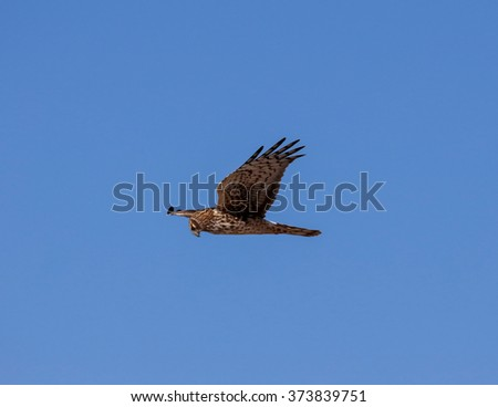 Female Northern Harrier flying against a flat, blue sky - stock photo