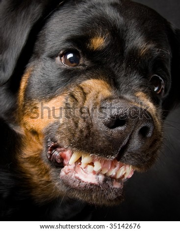 Female of a dog of breed a Rottweiler against snow. 7 years - stock photo