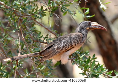 female of african grey hornbill with insect in bill, Kruger NP, South Africa - stock photo