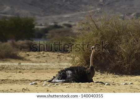 Female of African ostrich hatches eggs in nature reserve, 35 km north of Eilat, Israel - stock photo