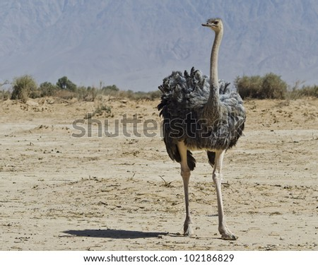 Female of African ostrich (Struthio camelus) in the Negev desert, Hai Bar national reserve park, 25 km north of Eilat, Israel