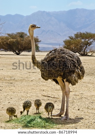 Female of African ostrich (Struthio camelus) with eating young chicks in the Negev desert, Hai Bar national reservation, 25 km from Eilat, Israel