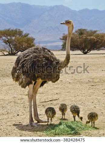 Female of African ostrich (Struthio camelus) with its young chicks in Israeli nature reserve park, 35 km north of Eilat. Focus on birds