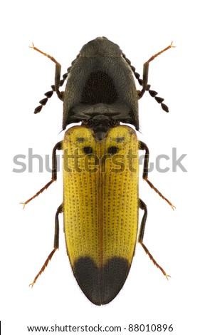 Female of Ampedus elegantulus, click-beetle, isolated on a white background - stock photo