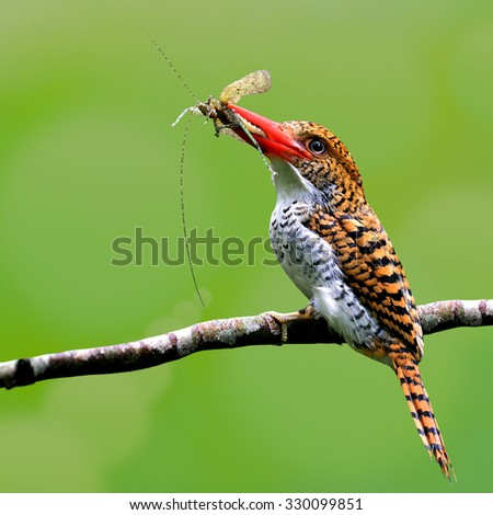 Female of Banded kingfisher (Lacedo pulchella) a tree kingfisher found in the lowland tropical forests of asia, showing insect food in her mouth to feed her chicks, beautiful brown bird - stock photo