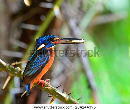 Female of Blue-eared kingfisher, the little blue bird carrying fish in her mouth to feed the chicks in the nest hole