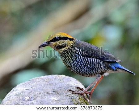 Female of Blue Pitta (Hydrornis cyaneus) standing on the clean rock, the beautiful blue bird