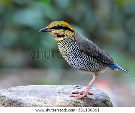 Female of Blue Pitta (Hydrornis cyaneus) the beautiful blue and grey bird standing on the clear white rock