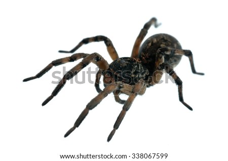 Female of Geolycosa vultuosa wolf spider isolated on white.