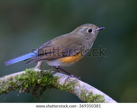 Female of Himalayan bluetail or Himalayan red-flanked bush-robin (Tarsiger rufilatus) the beautiful brown and grey bird perching on the branch with clear background - stock photo