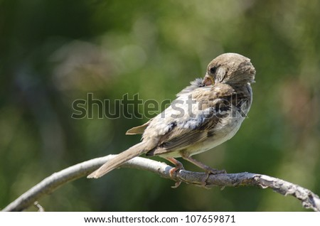 Female of House Sparrow