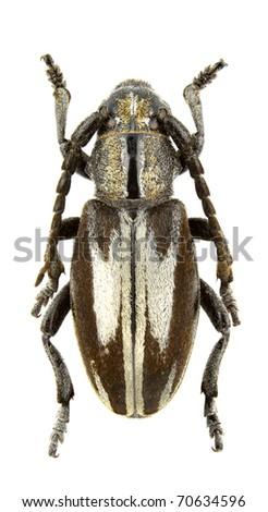 Female of Iberodorcadion perezi isolated on white background - stock photo