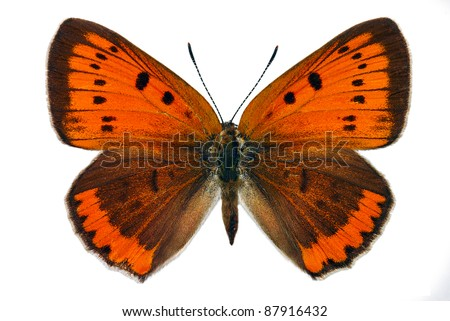 Female of Large Copper (Lycaena dispar), endangered butterfly protected in Europe - stock photo