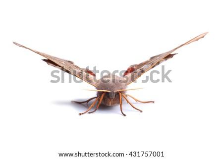 Female of Poplar hawk-moth (Laothoe populi) isolated on white - stock photo