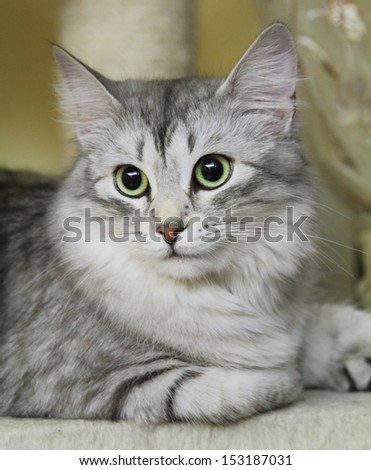Female of siberian cat, silver type