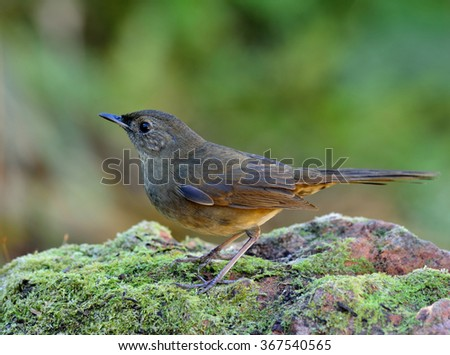 Female of White-bellied Redstart (Hodgsonius phaenicuroides) the beautiful brown bird standing on the mossy rock on green blur background - stock photo
