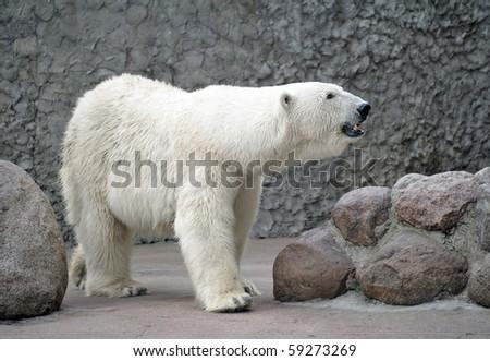 Female of white polar bear smell air - stock photo