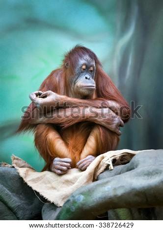 Female orangutan portrait in zoo. (Pongo pygmaeus) - stock photo