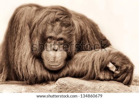 Female orangutan posing for a closeup portrait - stock photo