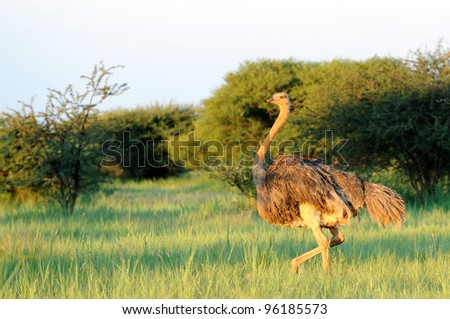 Female Ostrich in the grass - stock photo