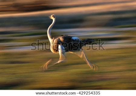 Female ostrich running, Kgalagadi Transfrontier Park, Northern Cape, South Africa - stock photo