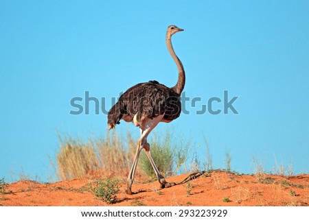 Female Ostrich (Struthio camelus) on red sand dune, Kalahari desert, South Africa