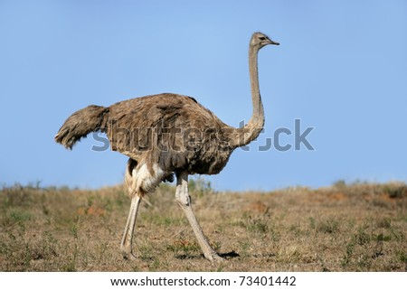 Female ostrich (Struthio camelus), South Africa