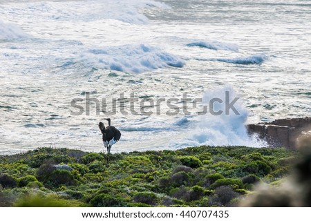 Female ostrich walking along the Atlantic ocean shore against stormy waves in South Africa. - stock photo
