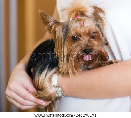 Female owner holding Yorkshire Terrier dog   at home