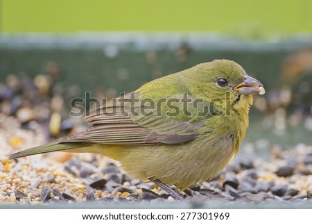 Female Painted Bunting Feeding on Millet - stock photo