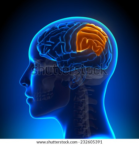Female Parietal Lobe - Anatomy Brain - stock photo