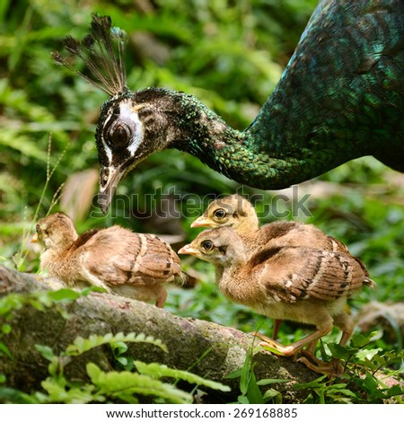 Female Peacock with group of newborn baby