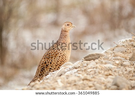 Female pheasant hiding behind a small hill, in sunset lights