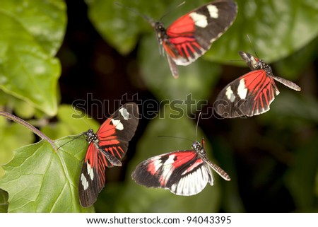 Female Piano Key butterfly (Heliconius melpomene) attracts three male to mate with. Motion blur on flying butterflies