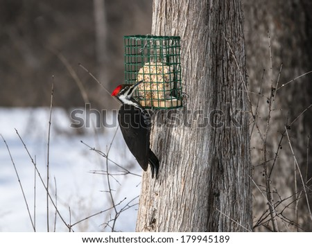 Female Pileated Woodpecker at Suet Feeder in Winter - stock photo