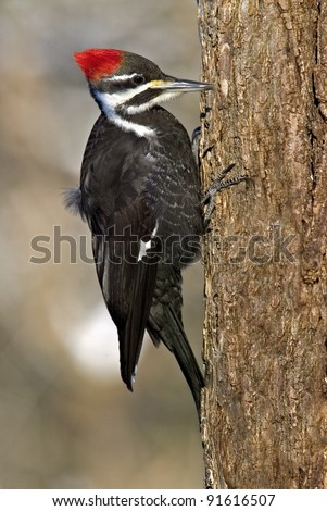 Female Pileated Woodpecker (Dryocopus pileatus) - stock photo