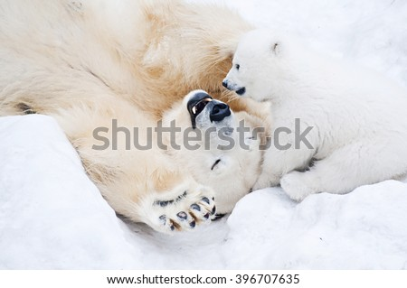 Female polar bear playing with her little cub on the snow - stock photo