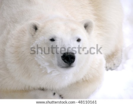 Female polar bear resting on snow close-up with detail fur and snow on face. - stock photo